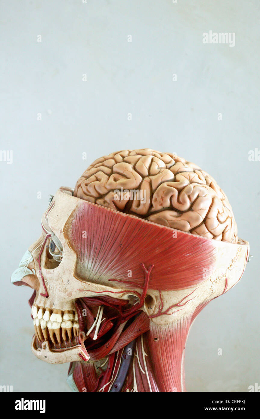 Academic Anatomy Brain Central Nervous System - Stock Image