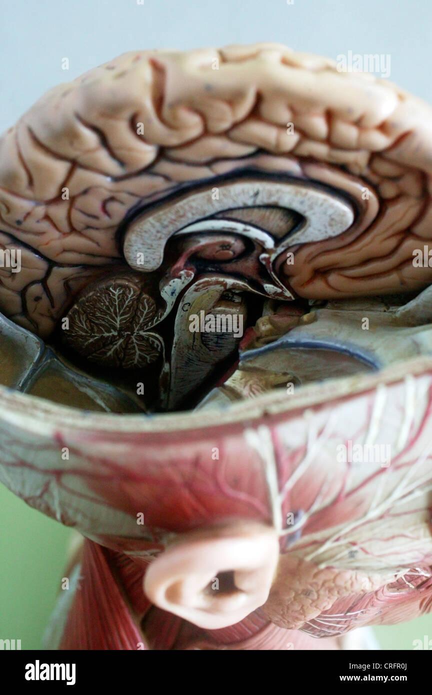 Academic Brain Central Nervous System Stock Photo: 48905154 - Alamy
