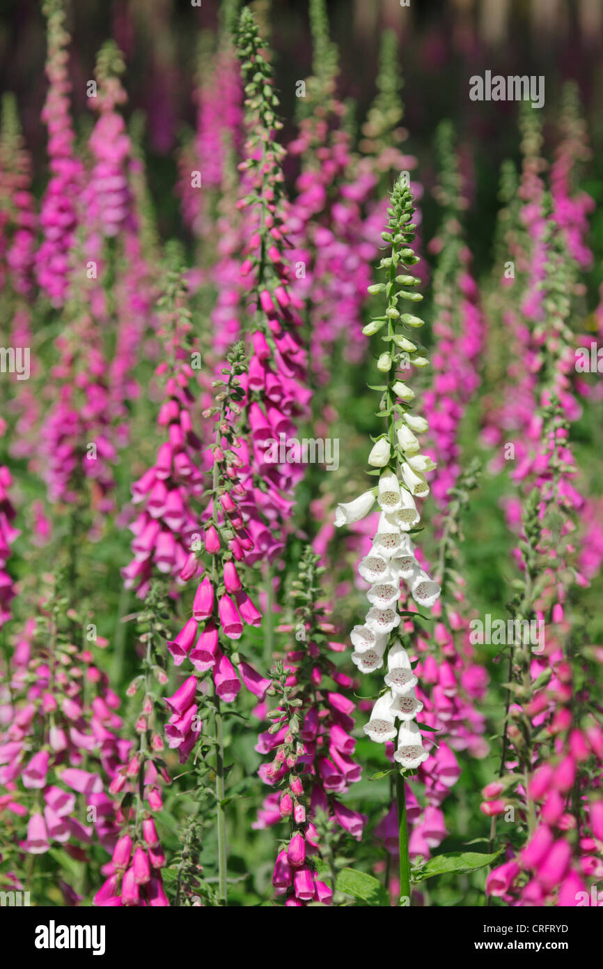 Foxgloves. - Stock Image