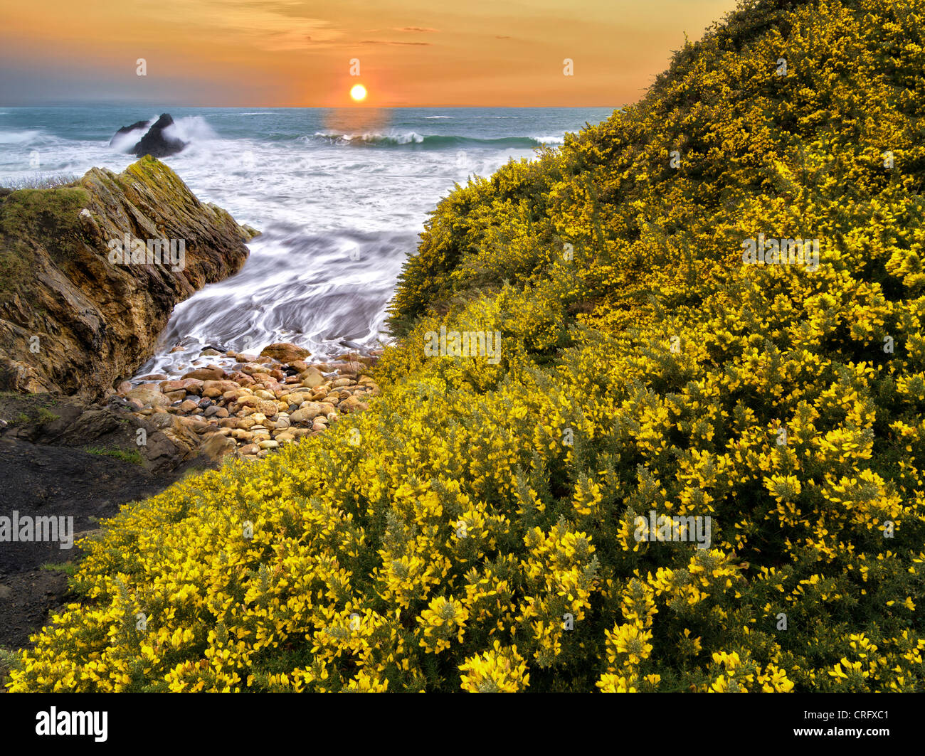 Blooming gorse and waves. Harris Beach State Park, Oregon (This image is a photo illustration, and was created from - Stock Image