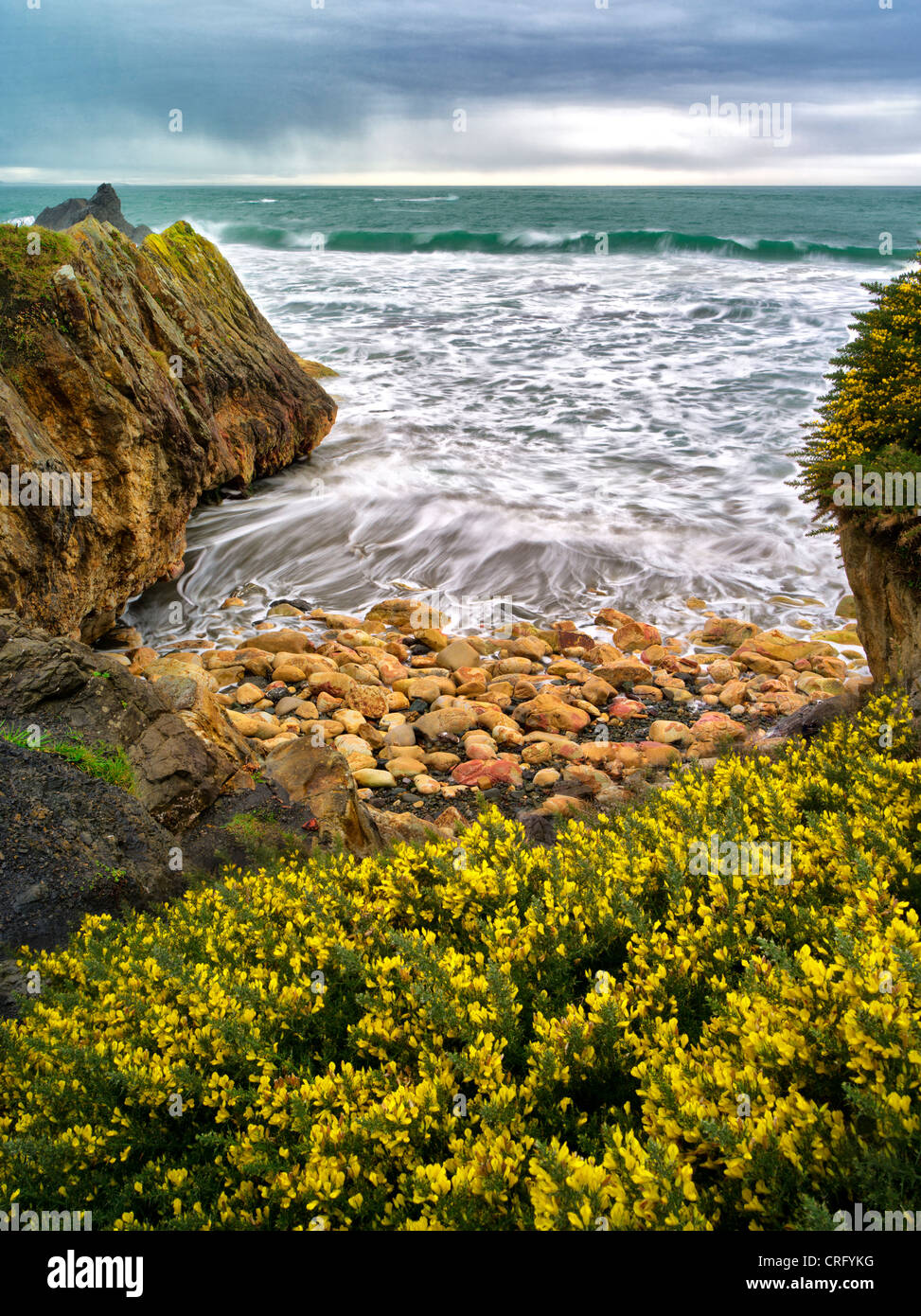 Blooming gorse and waves. Harris Beach State Park, Oregon - Stock Image