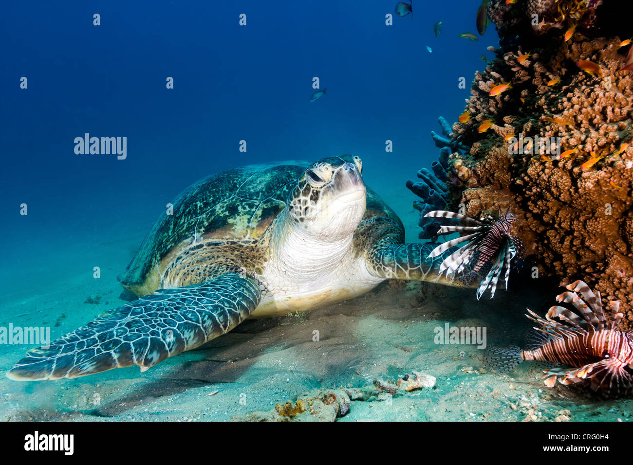 A Green Sea Turtle swats away lionfish as it settles on the sandy seabed next to a coral pinnacle - Stock Image
