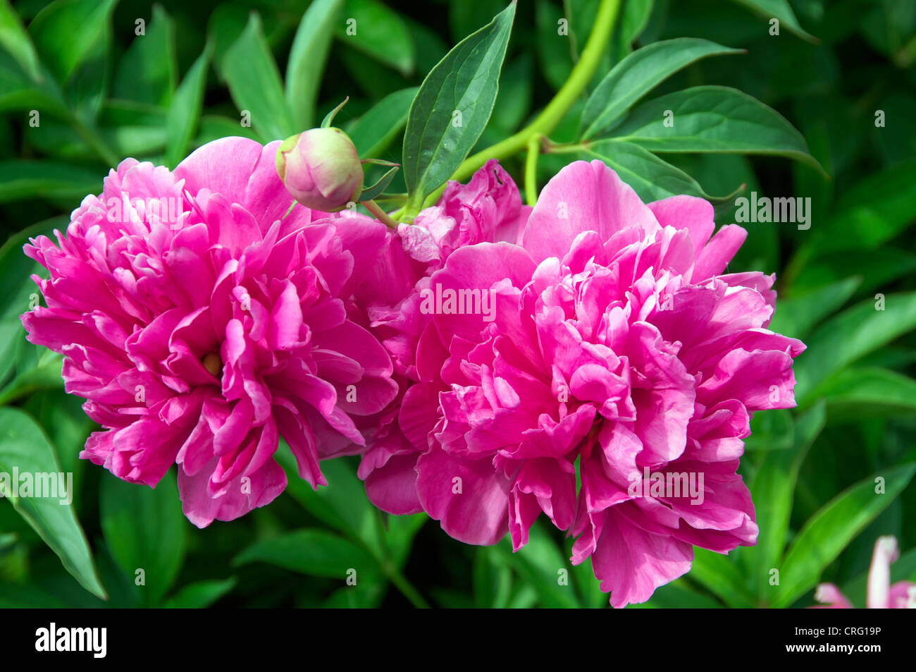 Close up peony blossoms Boboli Gardens Florence Italy Stock Photo