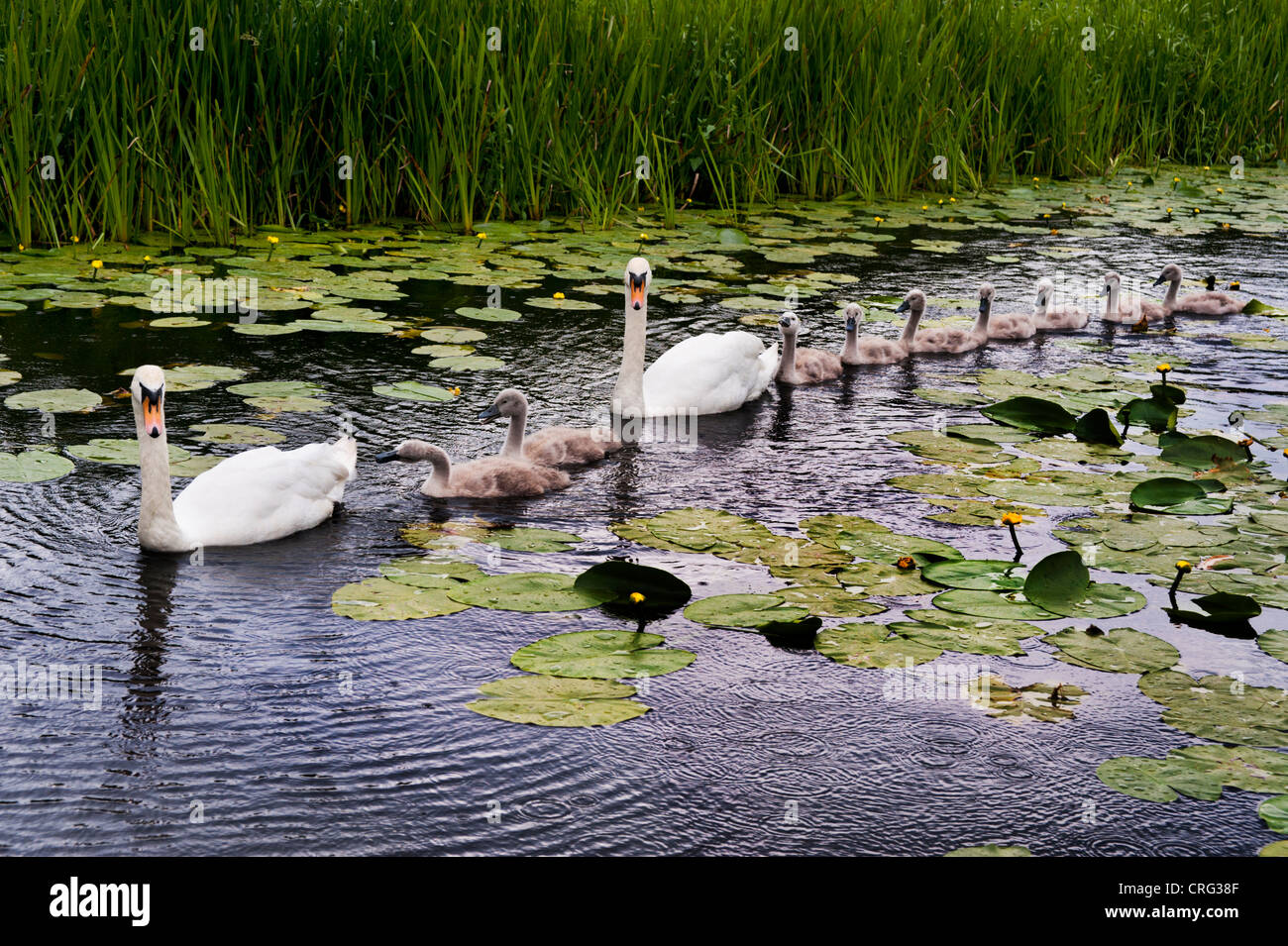Swans and their cygnets on the old canal at Newport, Shropshire - Stock Image