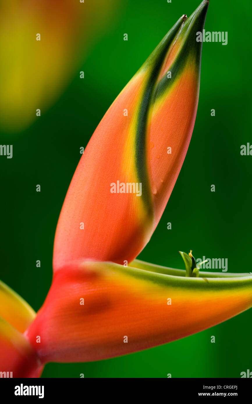 Pink and yellow Heliconia Rastrata or Lobster claw flower. Hawaii, Maui, USA - Stock Image