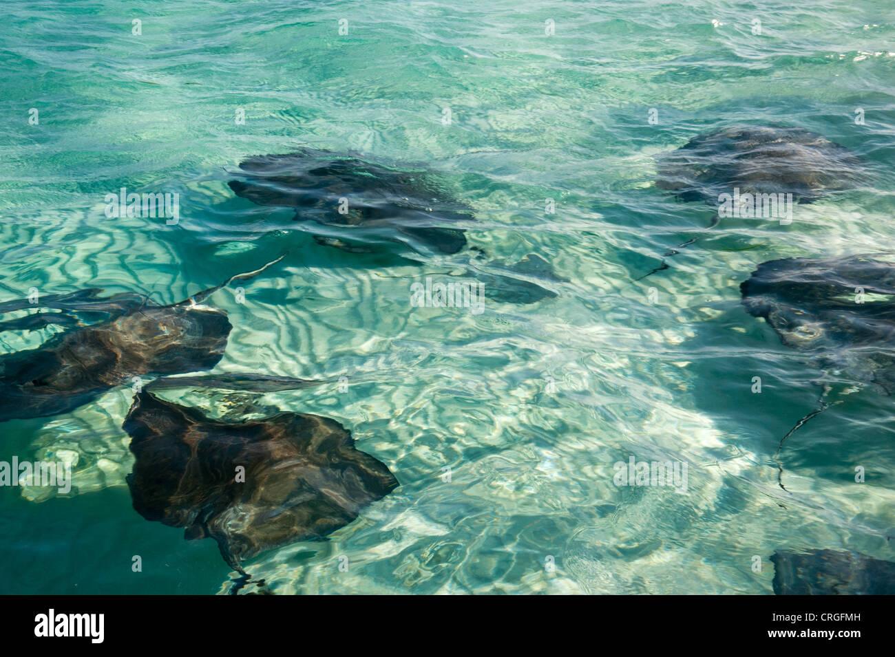 Stingray at Stingray City, Grand Cayman - Stock Image