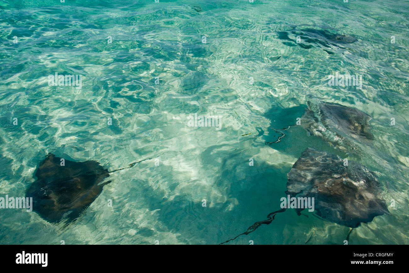 Stingray at Stingray City, Grand Cayman - Stock Image