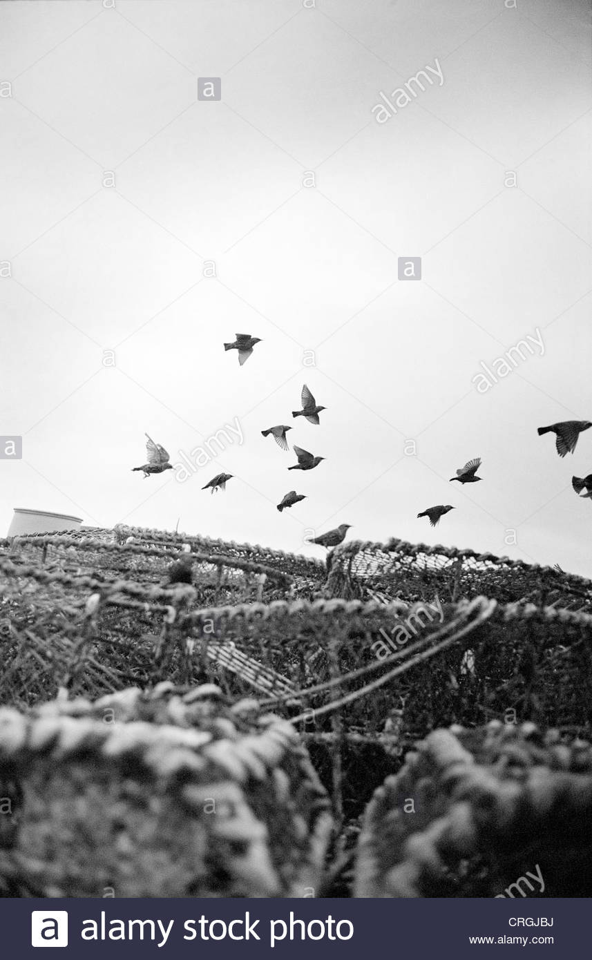 Seagulls flying over lobster pots, Dorset. - Stock Image