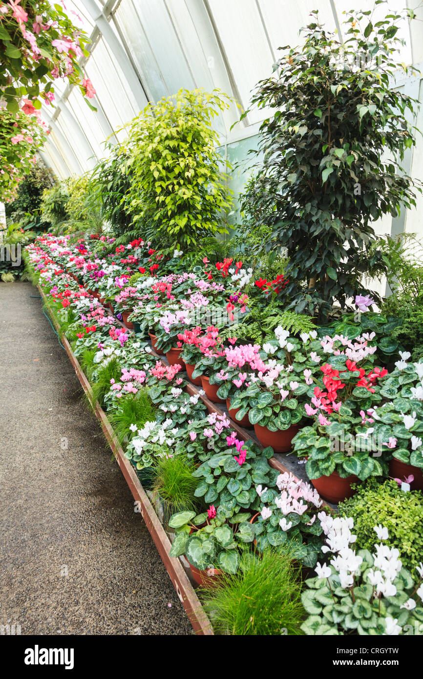 A display of cyclamen in a large public greenhouse, Hagley Park, Christchurch, New Zealand. - Stock Image