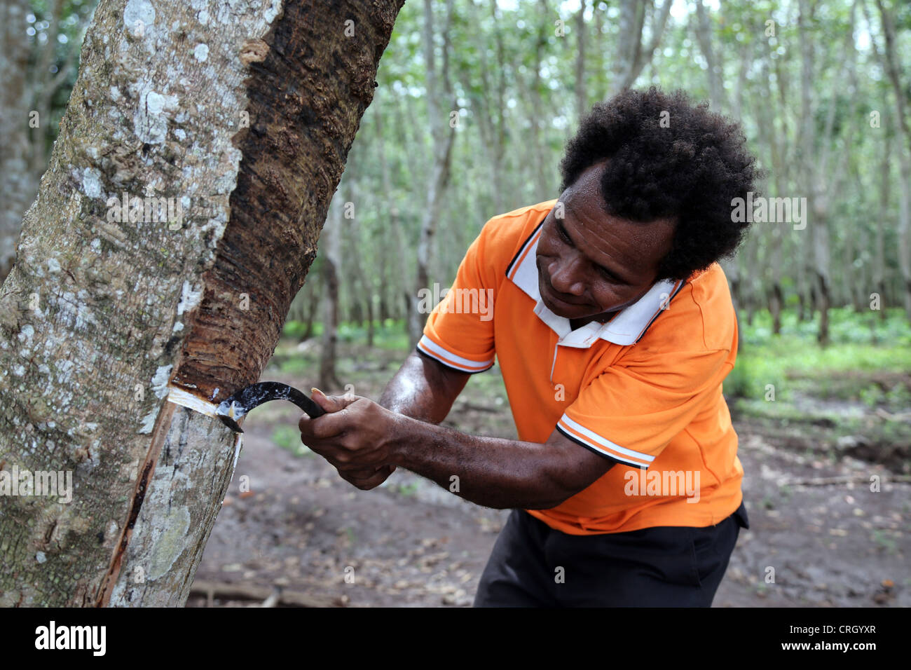 Extraction of latex from rubber trees, Central Province, Papua New Guinea - Stock Image