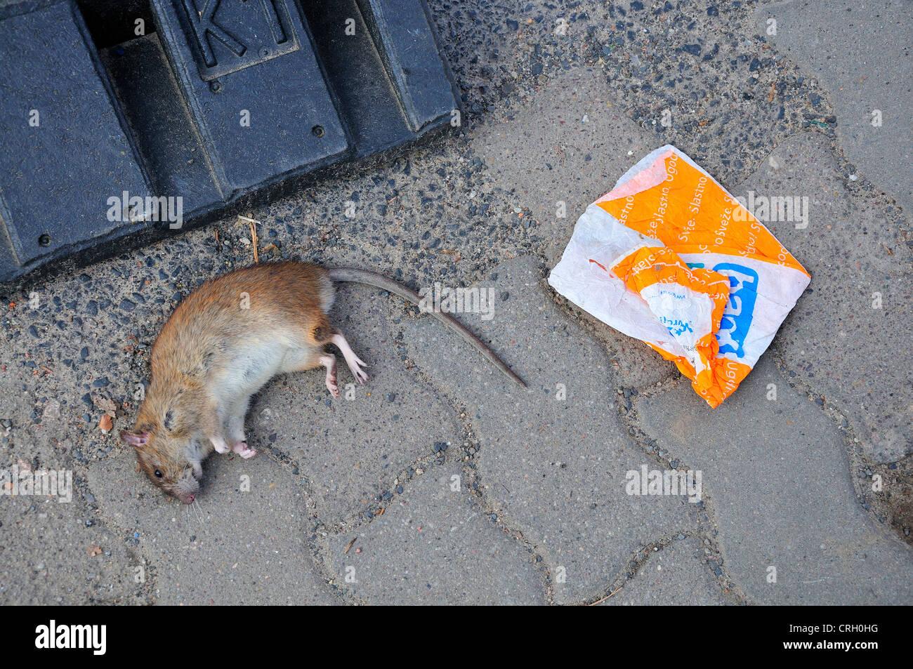 Berlin, Germany. Dead rat in the street - Stock Image
