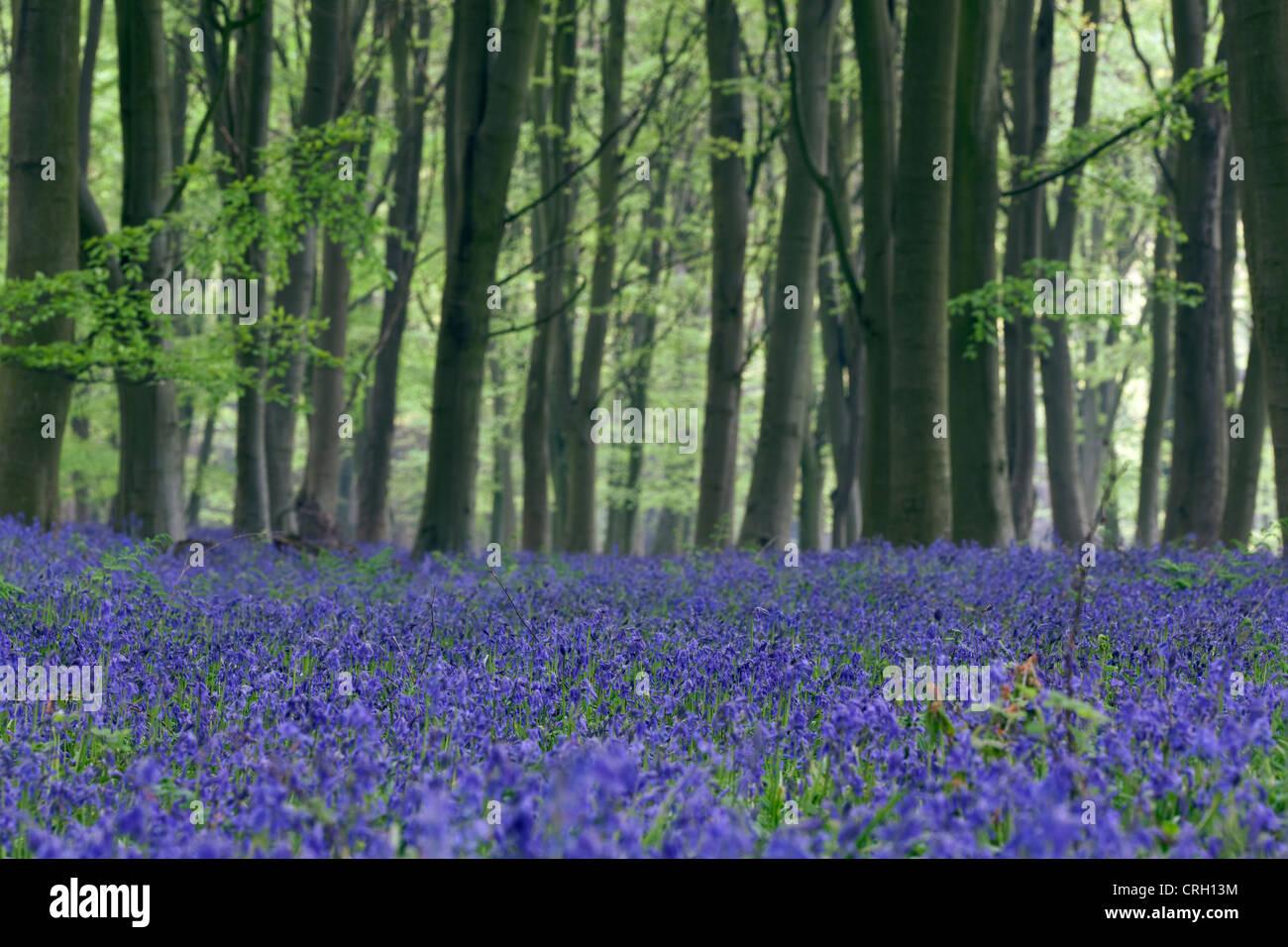 Hyacinthoides non-scripta, Bluebell wood - Stock Image