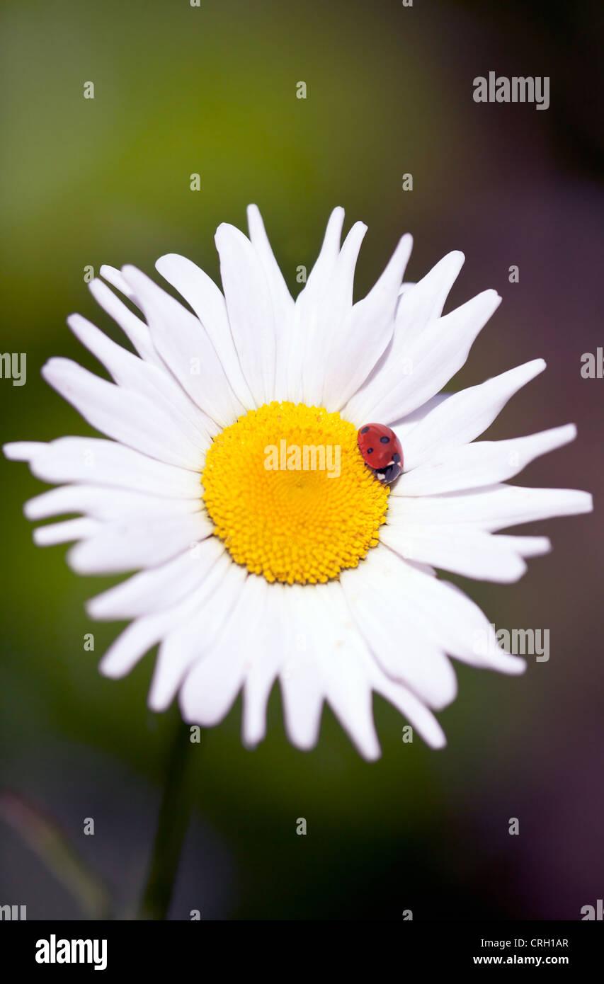 Bellis perennis, Daisy, Lawn daisy Stock Photo