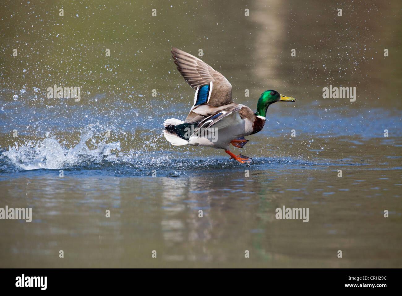 Mallard; Anas platyrhynchos; male; landing; UK - Stock Image