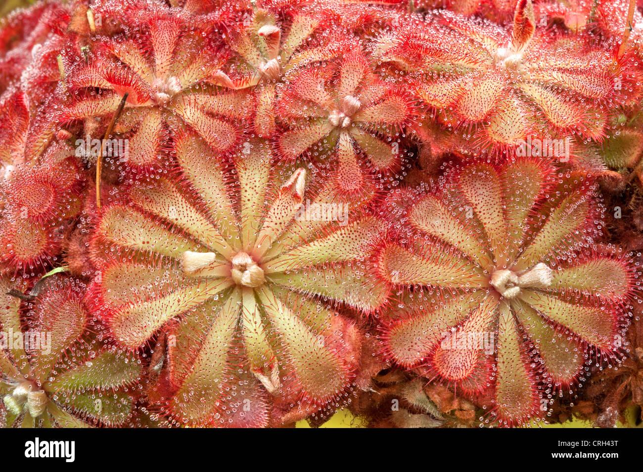 Drosera Sundew growing, carnivorous plant. - Stock Image