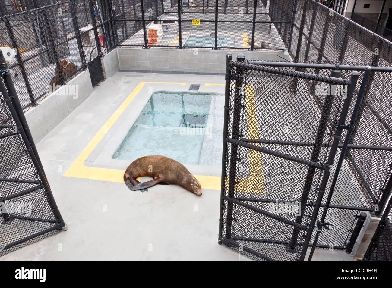 Rescued rehabilitated Sea Lion, Marine Mammal Center. - Stock Image