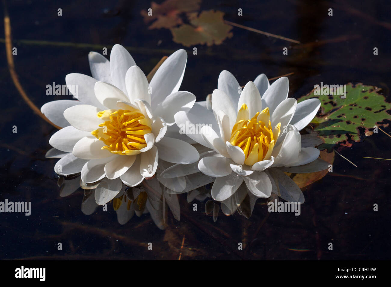 White water lilies, probably Nymphaea odorata, on French Pond, North Haverhill, NH - Stock Image