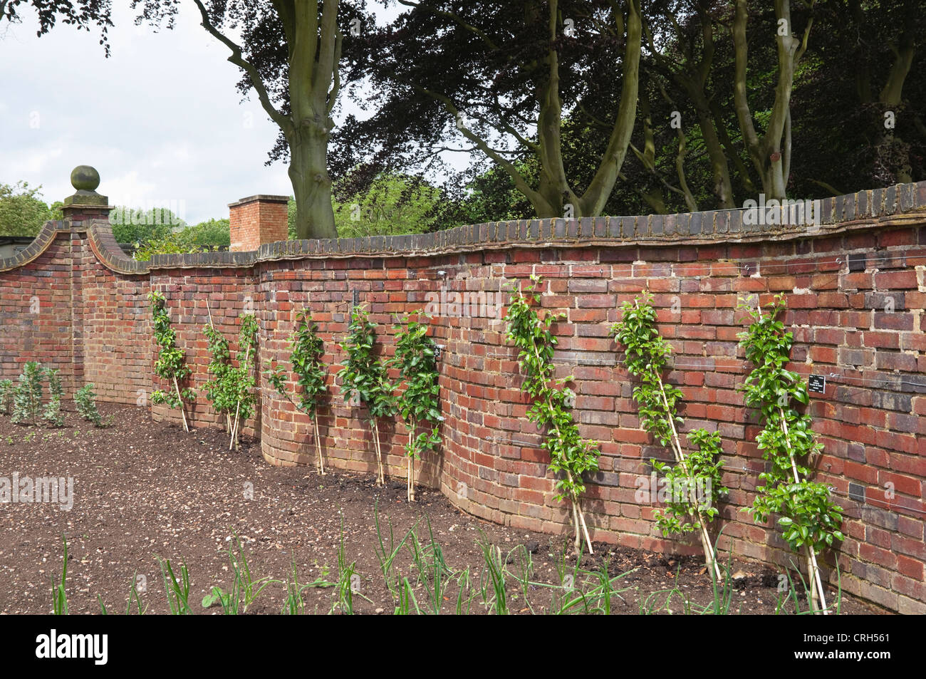 A crinkle crankle / serpentine wall, with cordon / espalier fruit trees growing against the brick wall. - Stock Image
