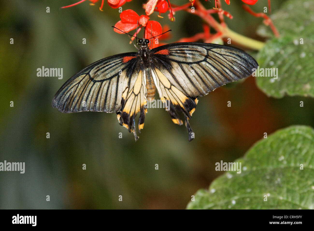 Schmetterlinge in der Natur - butterfly in nature Schmetterling - Butterfly - Stock Image