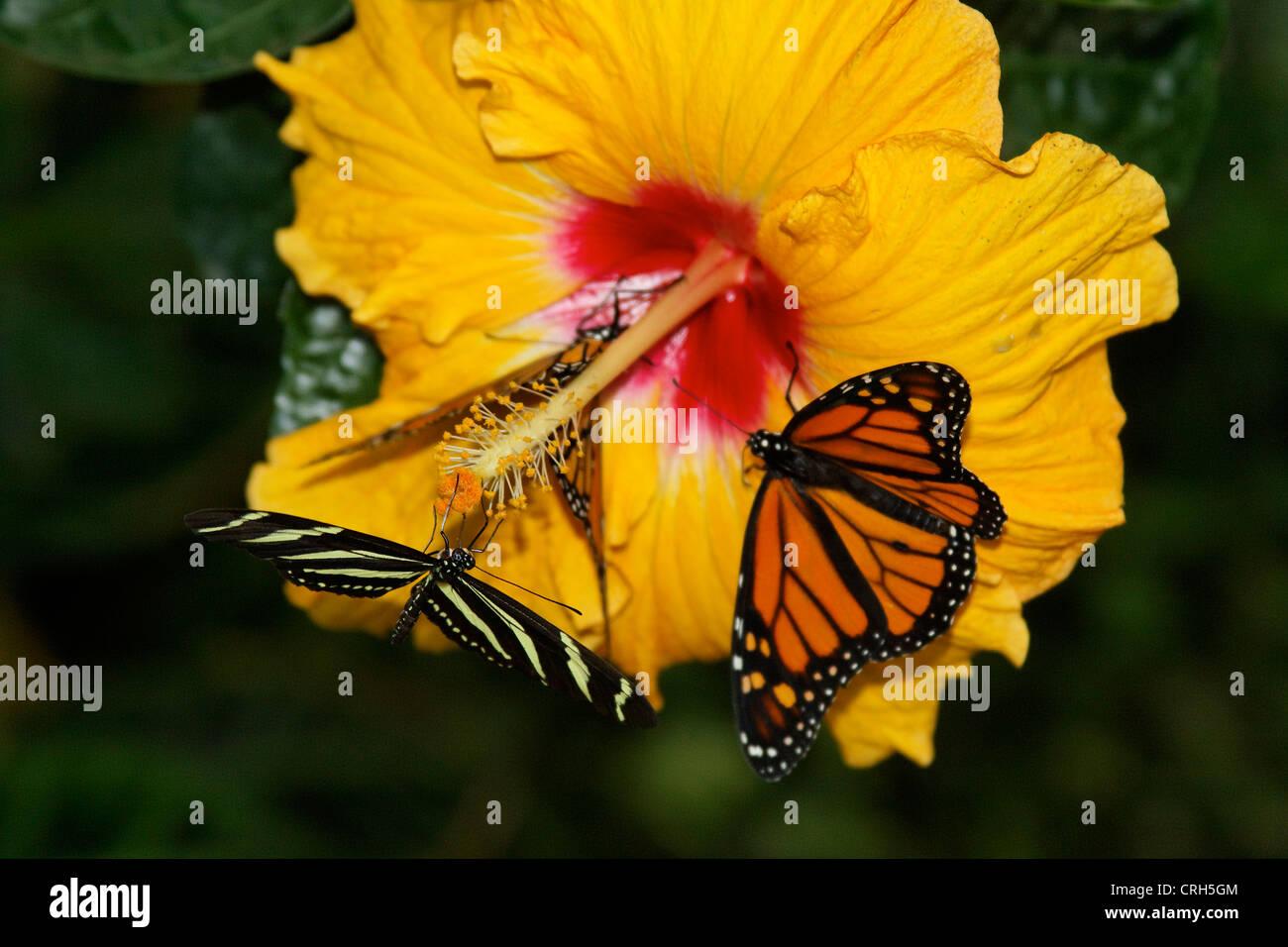Schmetterlinge in der Natur - butterfly in nature Monarchfalter - Danaus plexippus bedrohte Tierart - Protected - Stock Image
