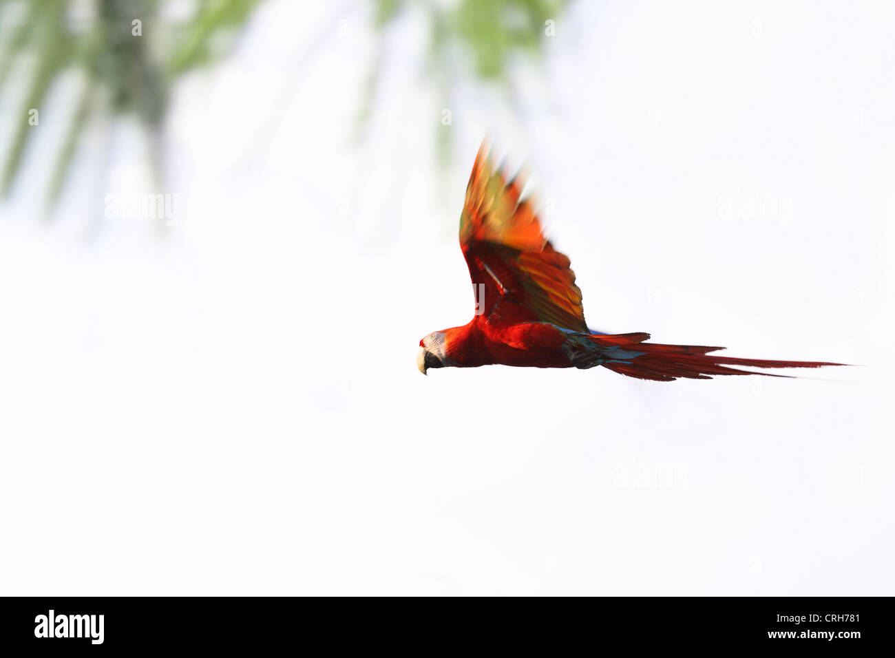 Scarlet Macaw (Ara macao) flying. Corcovado National Park, Osa Peninsula, Costa Rica. March 2012. - Stock Image