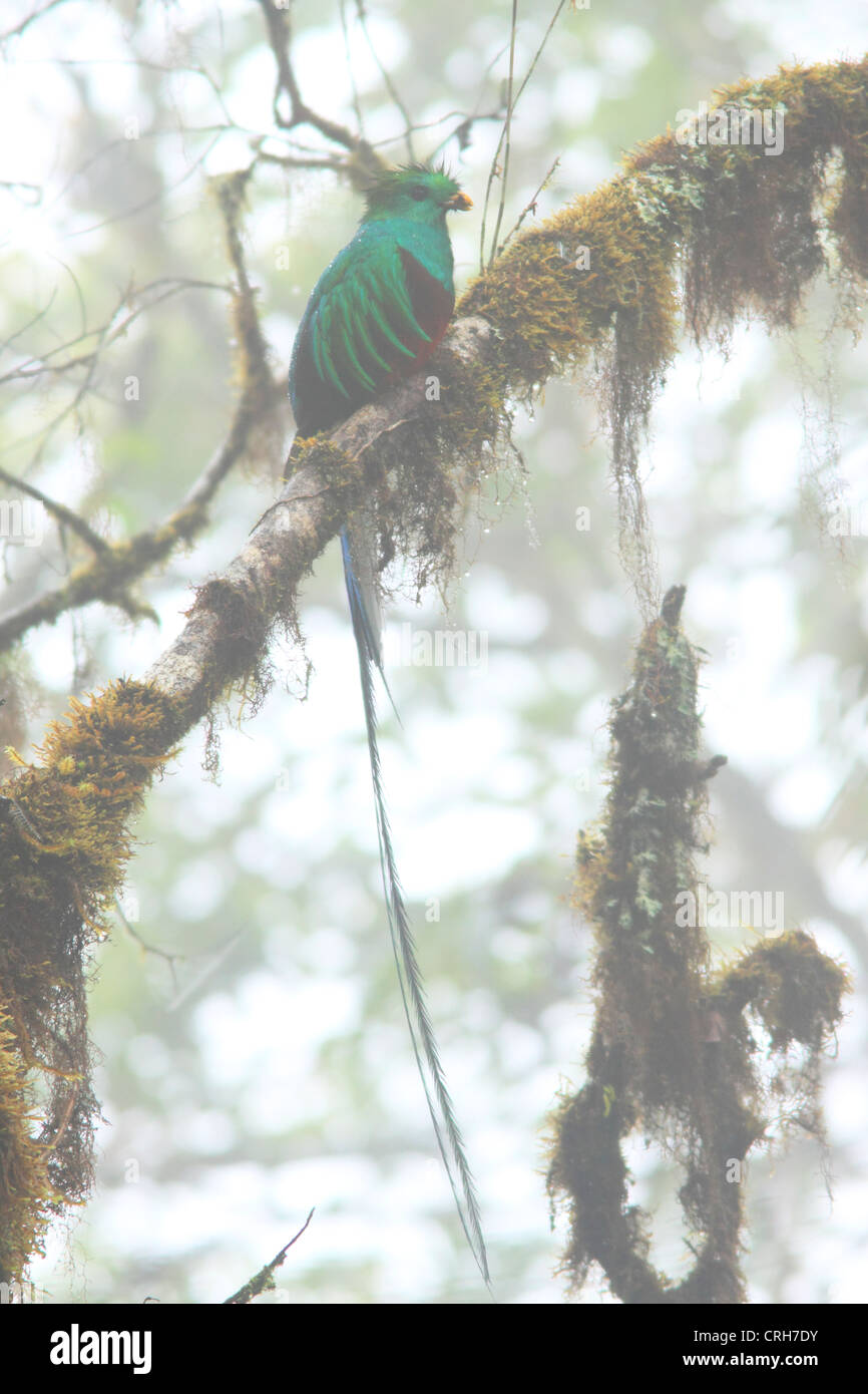 Male Resplendent Quetzal (Pharomachrus mocinno) with insect in bill. Misty cloud forest on Cerro de la Muerte, Costa - Stock Image