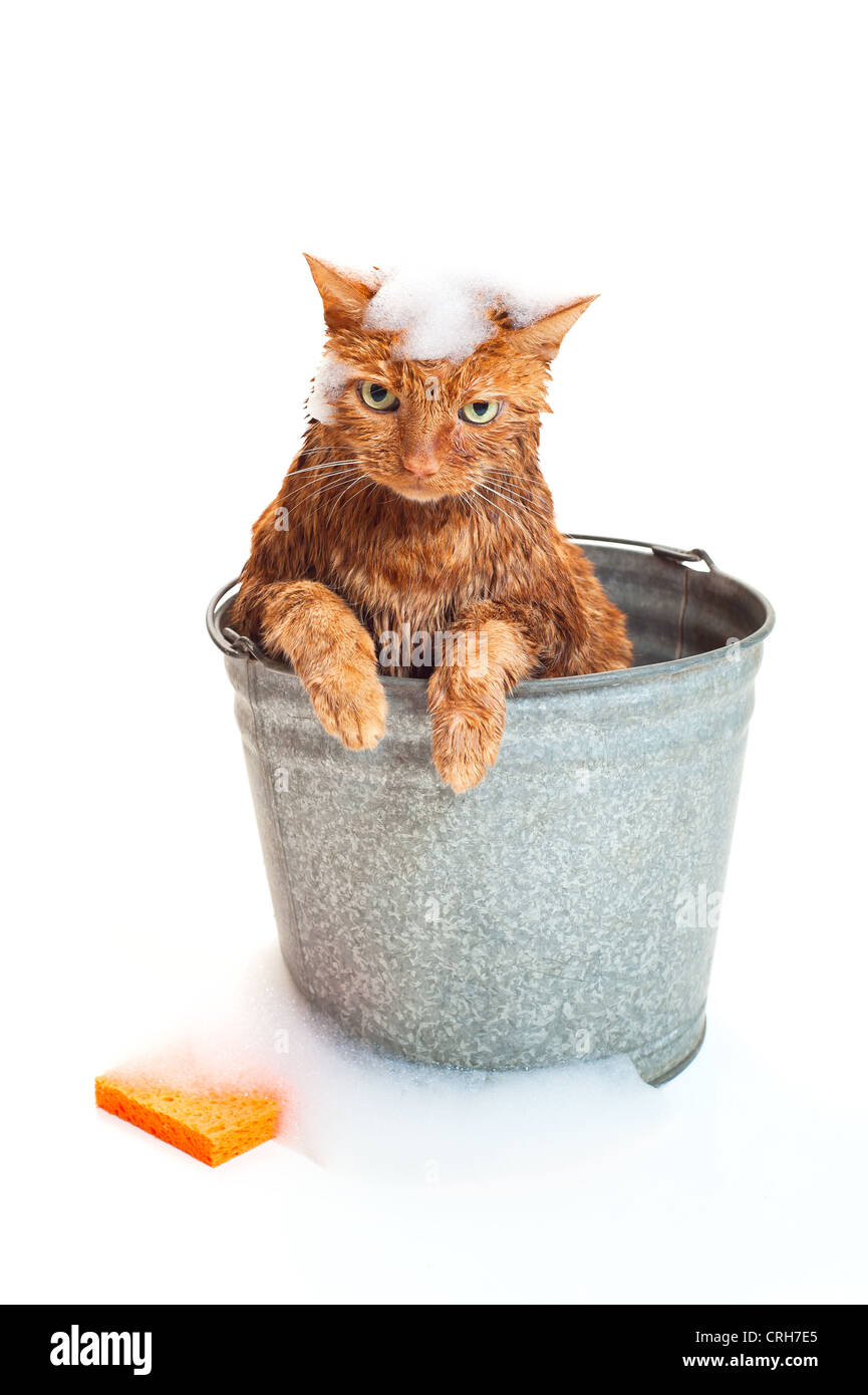 Bath time for a wet and unhappy orange Tabby cat sitting inside of a galvanized wash bucket with soap suds and an - Stock Image
