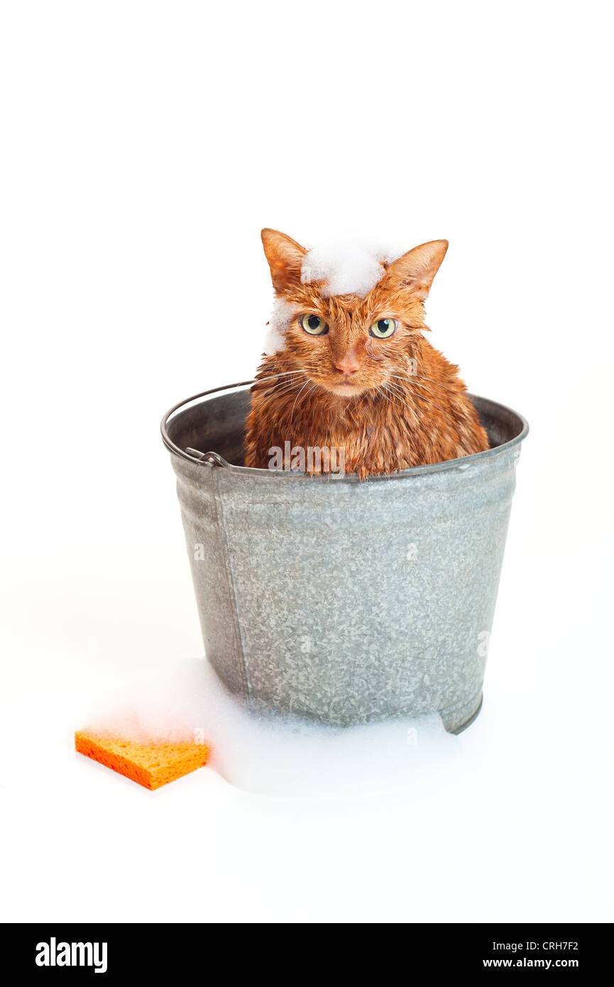 Bath time for a wet and unhappy orange Tabby cat sitting inside of a galvanized steel wash bucket with soap suds - Stock Image