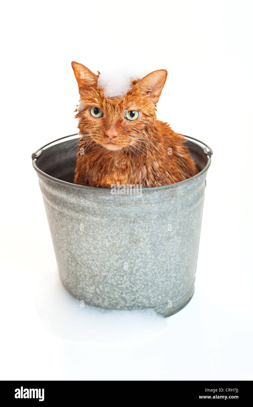 Bath time for a wet cat in a galvanized steel bucket with soap suds on his head and around base of bucket. - Stock Image