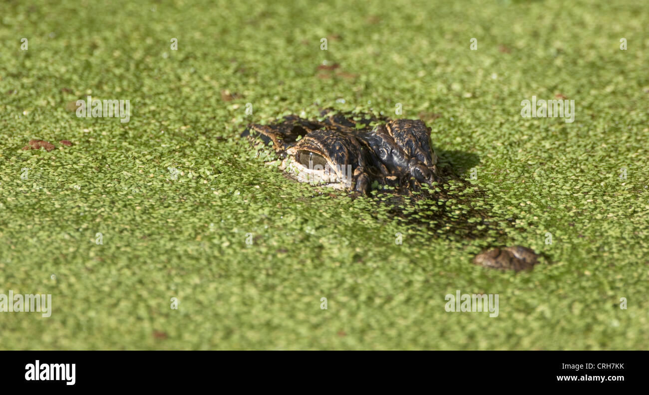 alligator reptile wildlife in duckweed Loxahatchee Wildlife Refuge - Stock Image