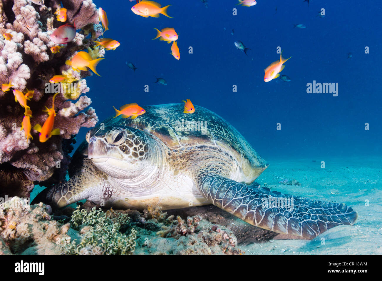 A large green turtle rests on the bottom next to an anthia covered coral pinnacle in the Egyptian Red Sea (Gulf - Stock Image