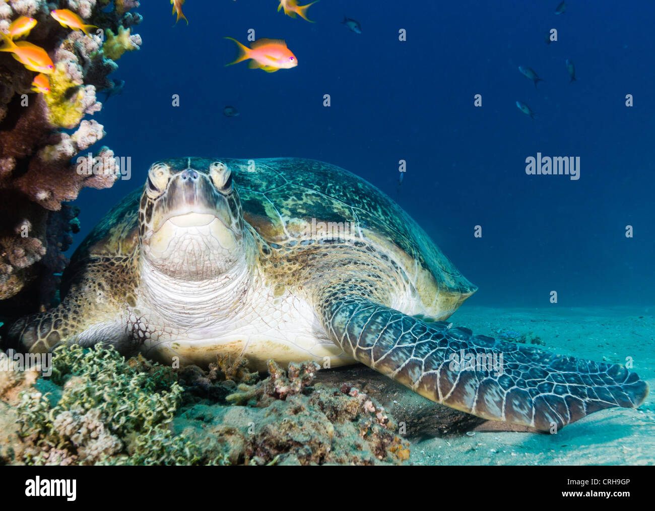 A curious Green Turtle looks directly towards the camera as it rests on the seabed next to a shallow coral pinnacle - Stock Image