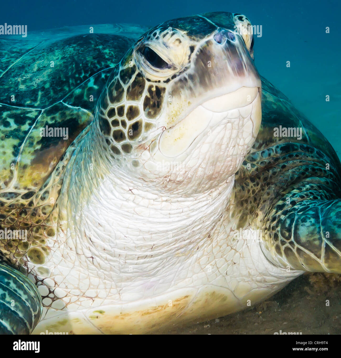 A Green turtle with a grumpy look on its faces investigates the camera close-up - Stock Image
