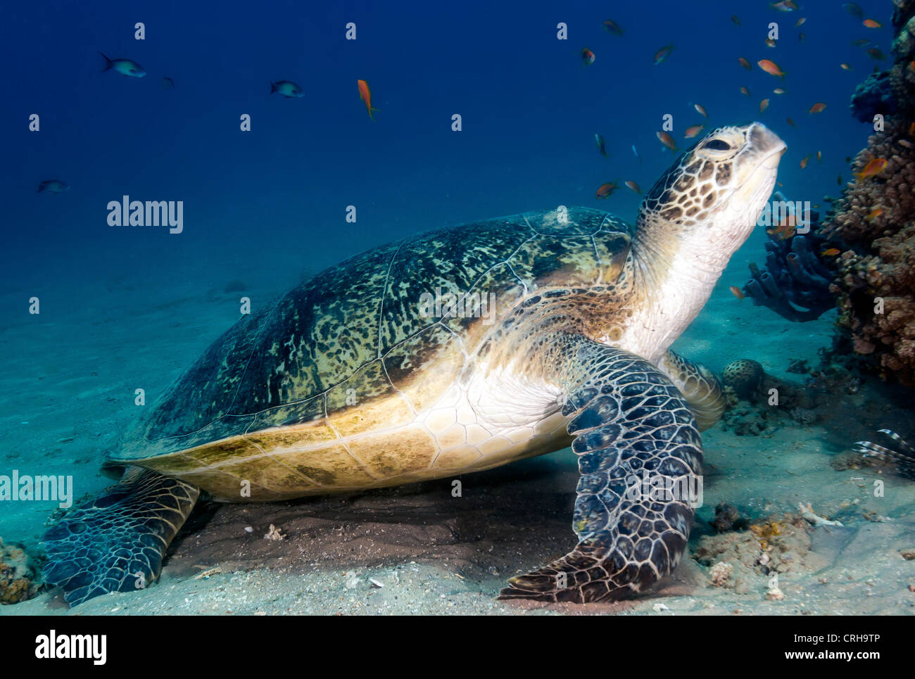 A Green Sea Turtle puts its head in the air and poses to the camera next to a coral pinnacle Stock Photo
