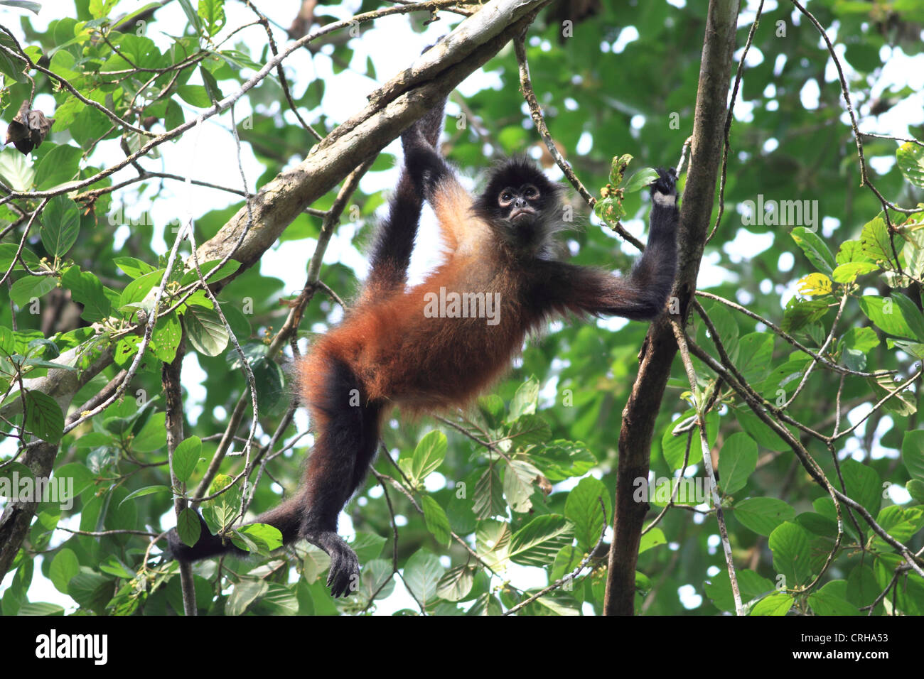 Central American Spider Monkey (Ateles geoffroyi). Corcovado National Park, Osa Peninsula, Costa Rica. March 2012. Stock Photo