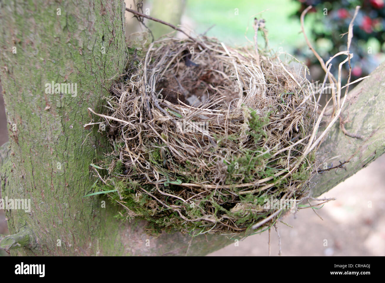 Abandoned empty birds nest in a tree (could symbolise loss of pension / savings / investment) - Stock Image