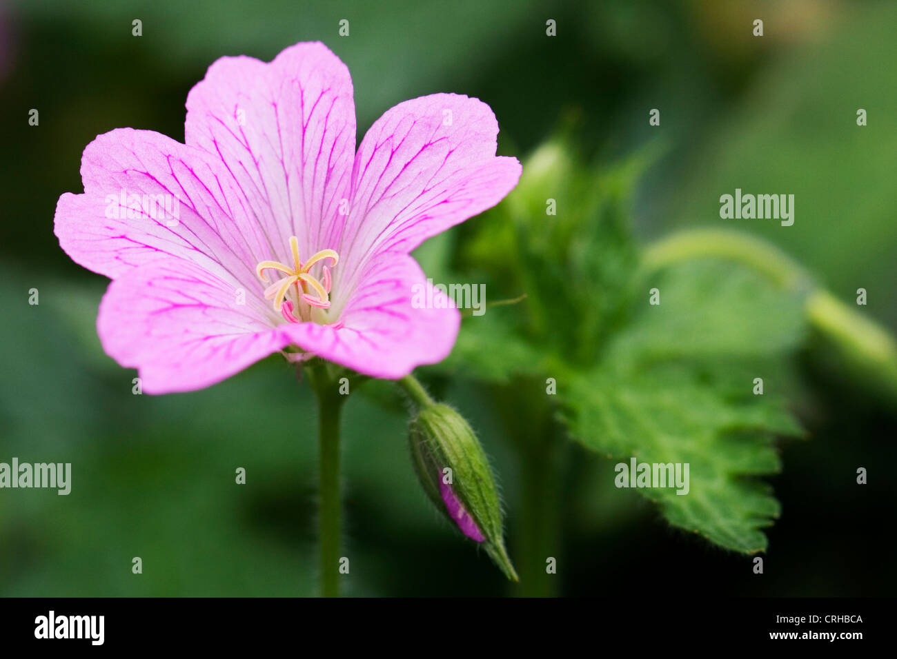 Geranium x oxonianum 'Wargrave pink' in the garden. - Stock Image