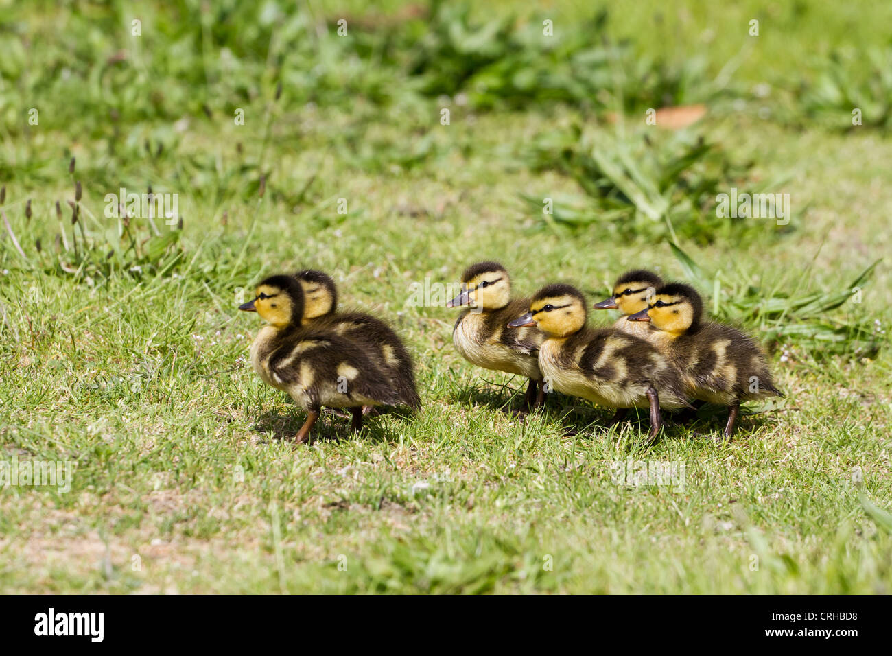 Baby ducklings close up shot - Stock Image