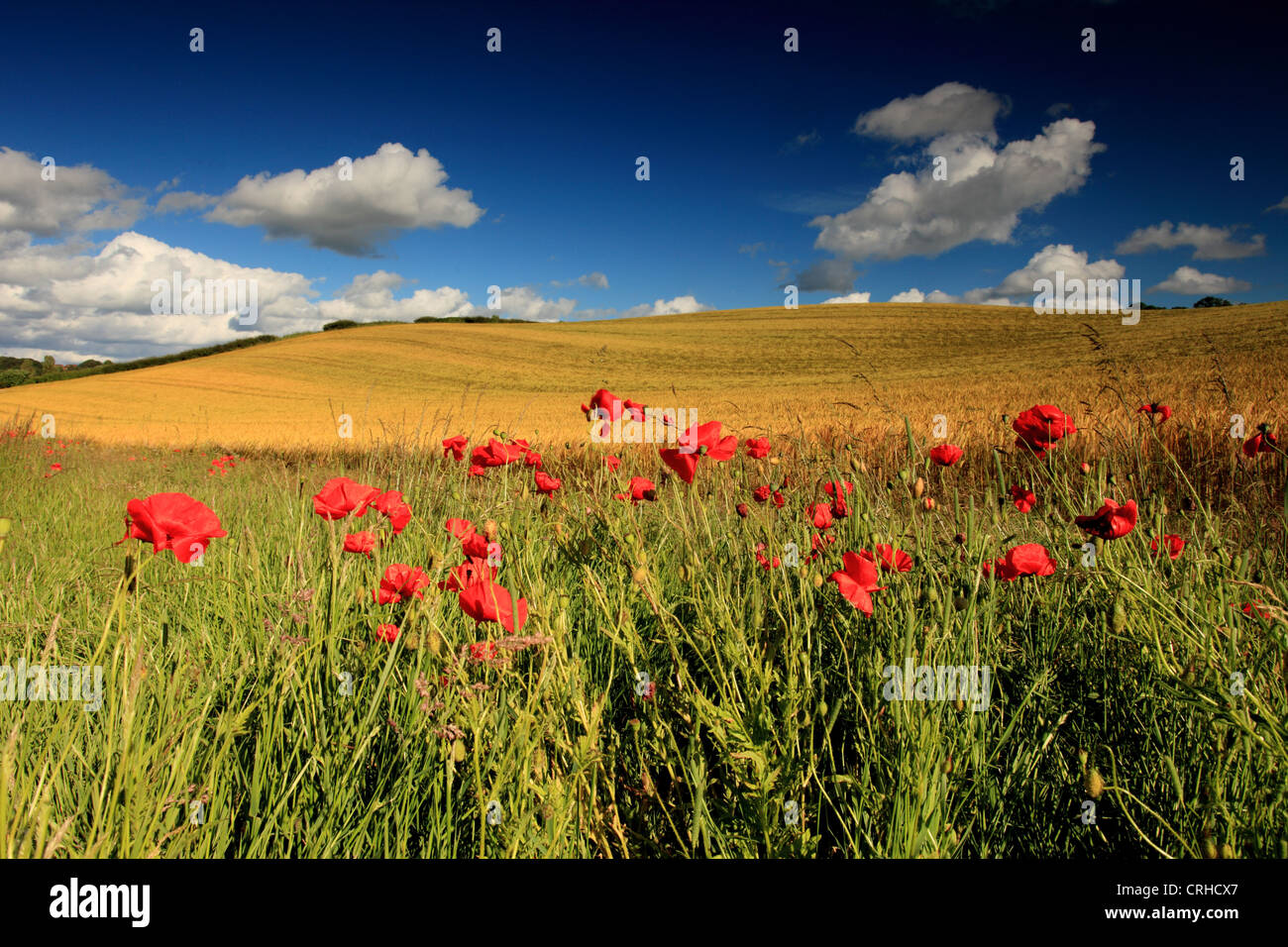 Poppies pictured against a wheat field and blue sky UK - Stock Image