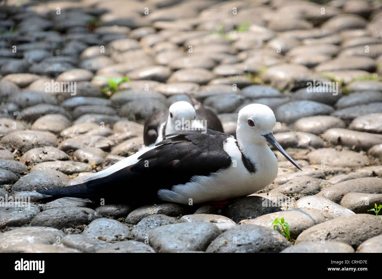 birds Black-Winged Stilt - Stock Image