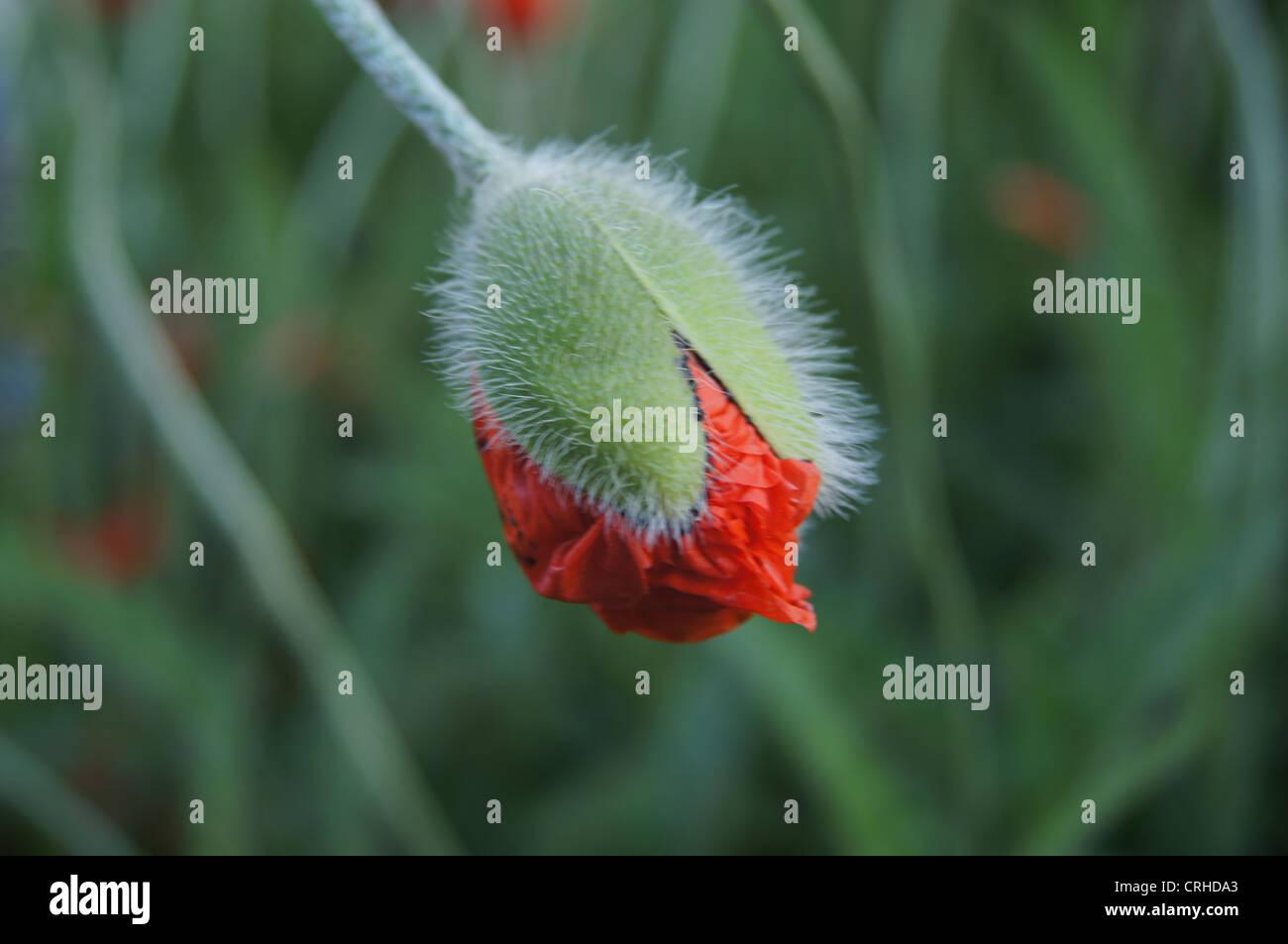 Poppy Flower Bud Beginning Open Stock Photos Poppy Flower Bud