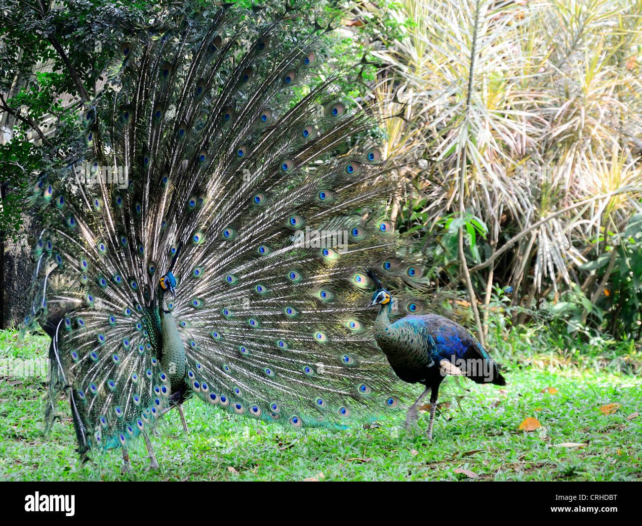 2 Peacock birds - Stock Image