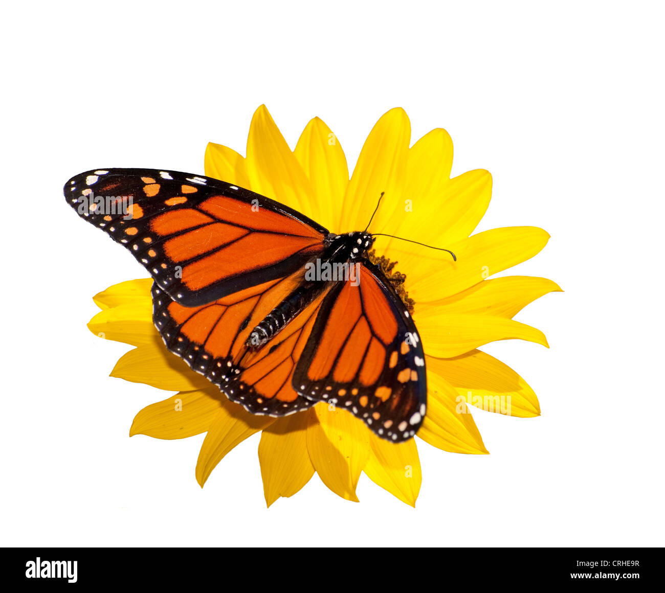 Dorsal view of a male Monarch butterfly feeding on a wild sunflower; isolated on white - Stock Image