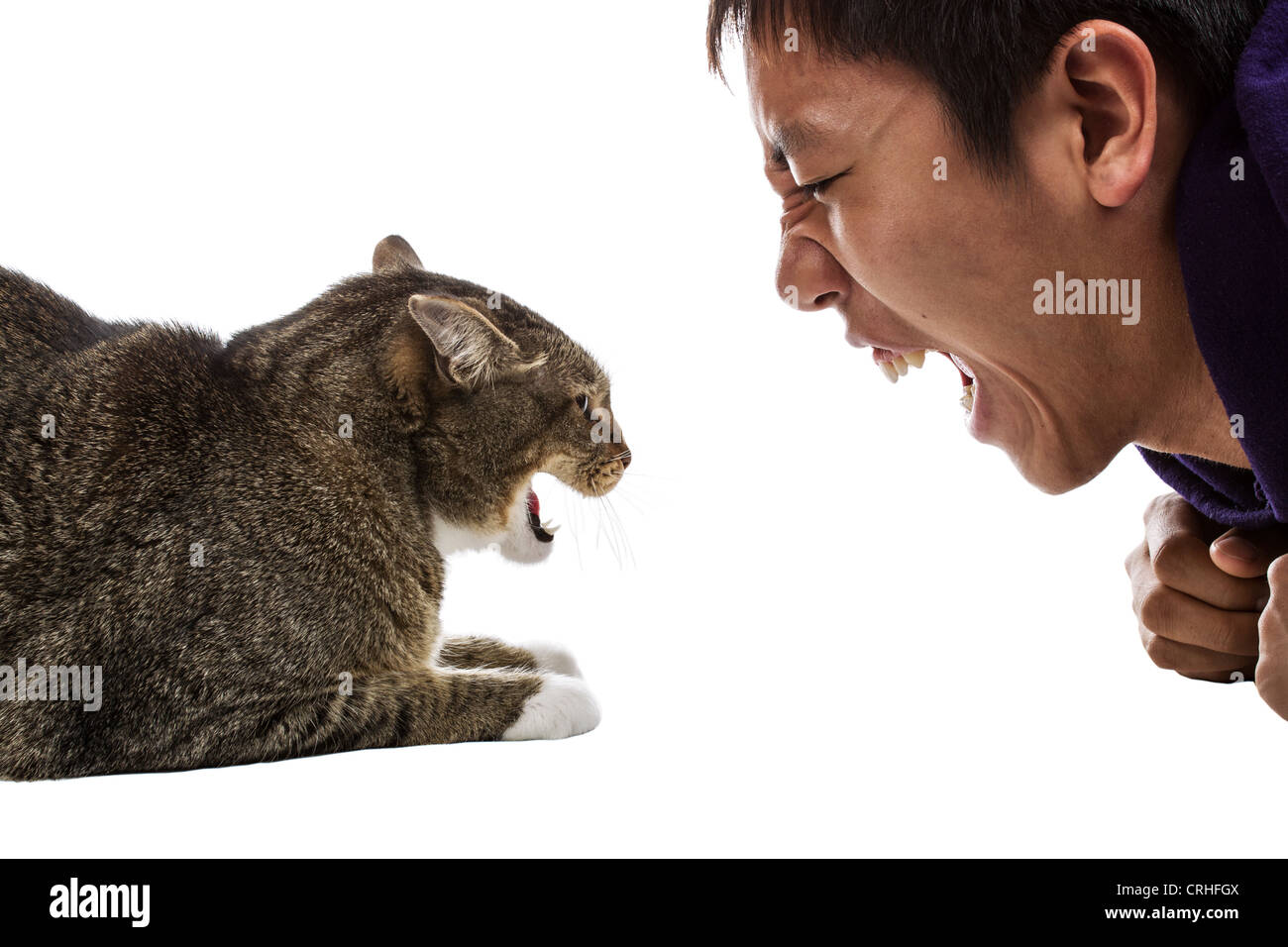 Angry gray tabby cat snarls at man on white background - Stock Image