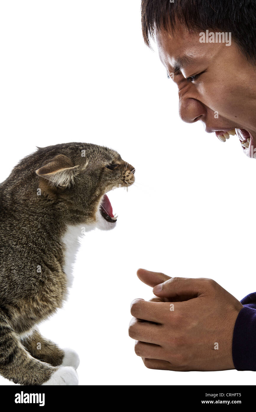 Gray tabby cats snarls at snarling man on white background - Stock Image
