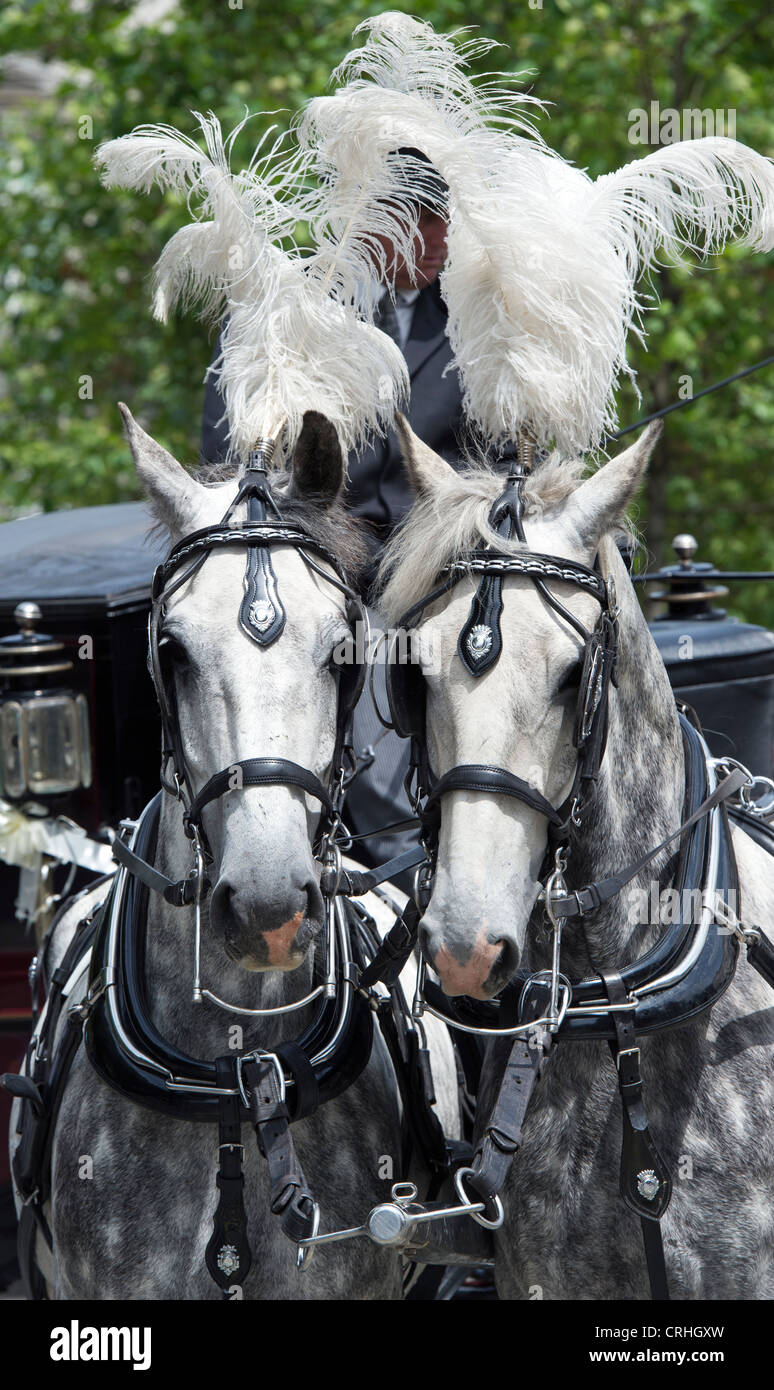 Dapple Grey Draft Horses Pulling A Wedding Carriage London Stock Photo Alamy