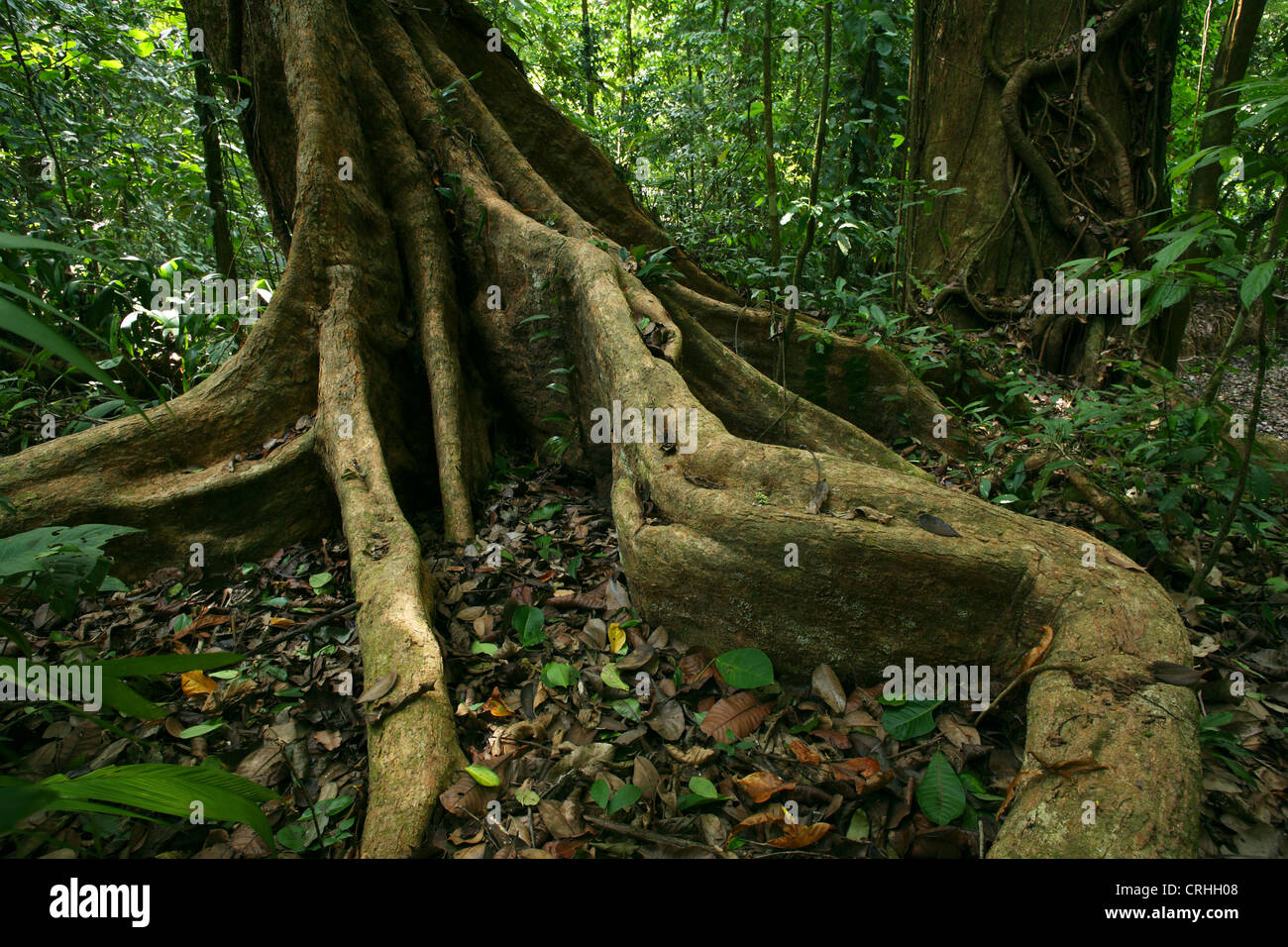 Buttress roots in rainforest. Corcovado National Park, Osa Peninsula, Costa Rica. March 2012. Stock Photo
