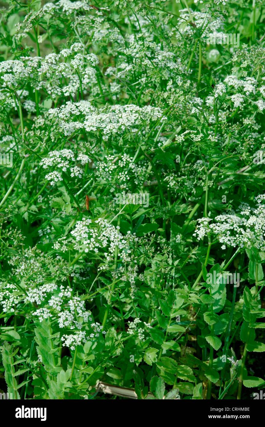 LESSER WATER-PARSNIP Berula erecta (Apiaceae) Stock Photo