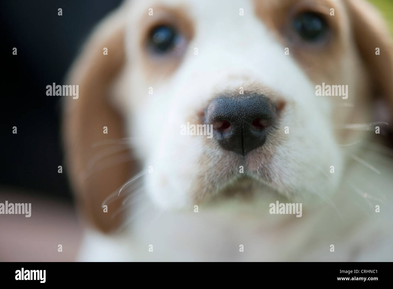 Beagle puppy, focus on nose - Stock Image