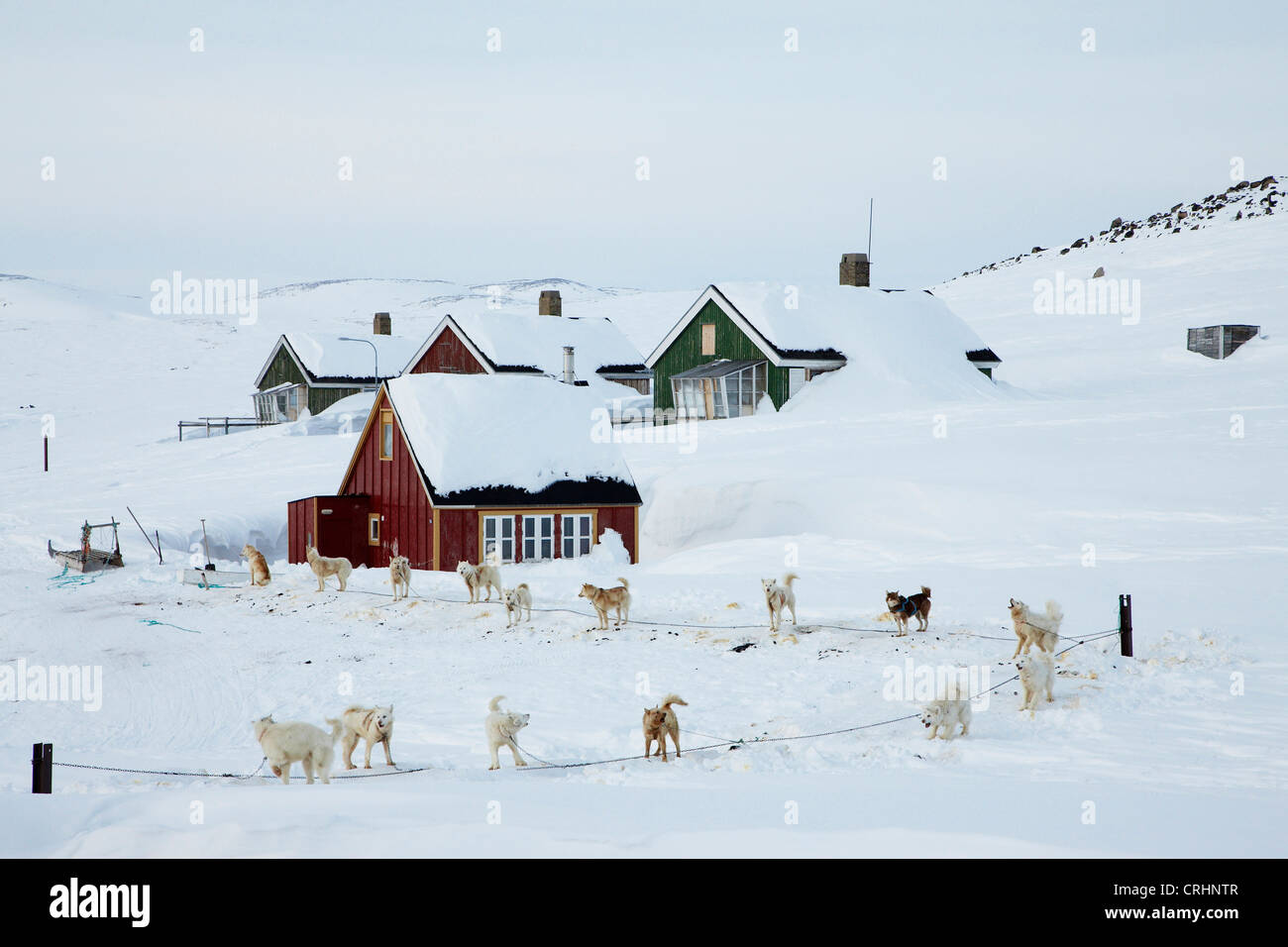 Greenland Dog (Canis lupus f. familiaris), tied sledge dogs in front of, Greenland, Ostgroenland, Tunu, Kalaallit - Stock Image